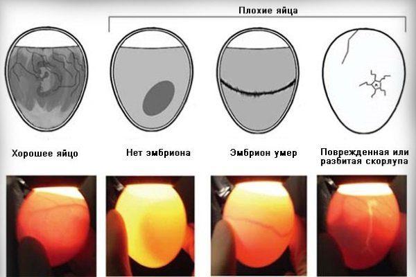 Осмотр яиц