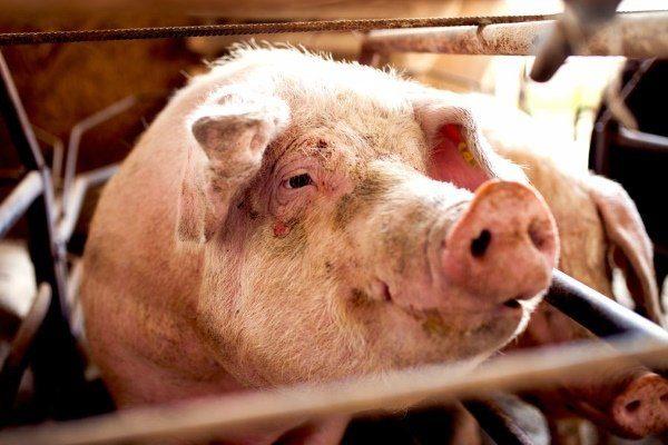 АЧС у свиньи