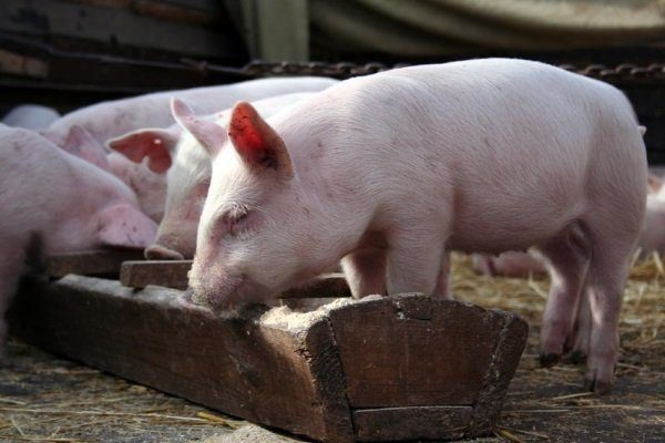 Кормление свиней золой