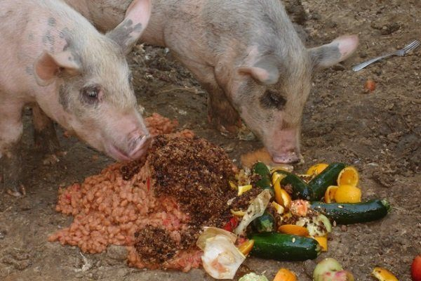 Свиньи едят овощи