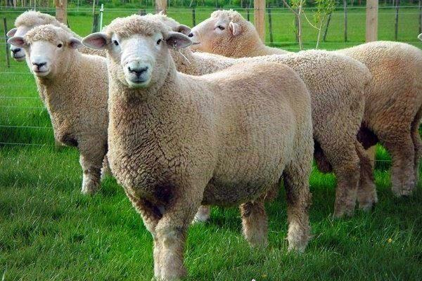 Ромни-марш овцы
