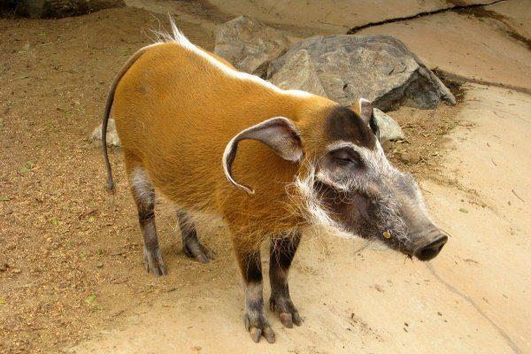 Африканская кистеухая порода свиней