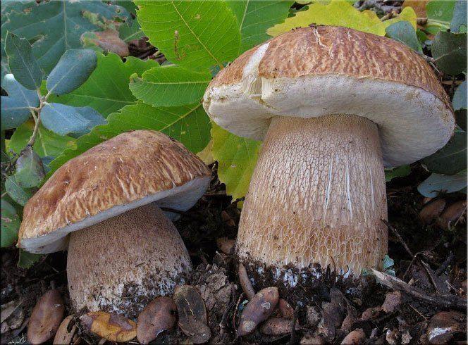 Белый гриб Боровик – фото и описание, где растут, как выглядит, виды, польза и вред, условия выращивания