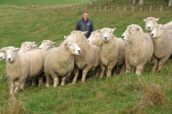 Romney Marsh sheep