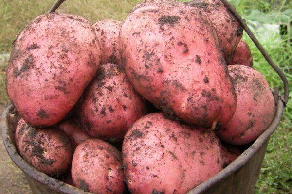 Лучшие голландские сорта картофеля: посадка и уход
