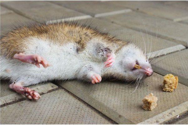 Сдохшая крыса