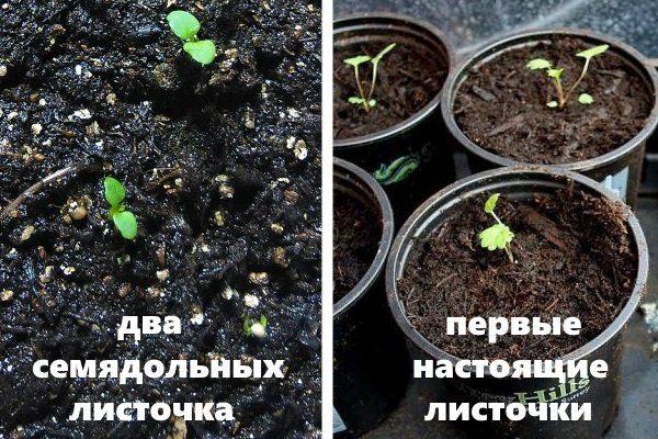 Прорастание семени земляники