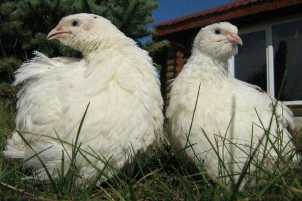 Техасский альбинос