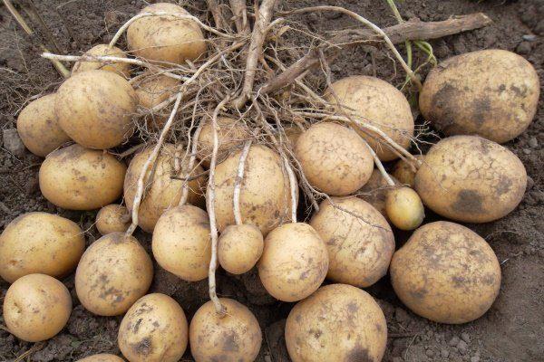 """Картофель """"Коломбо"""""""