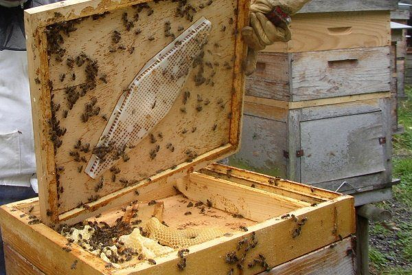 Пчёлы в улике
