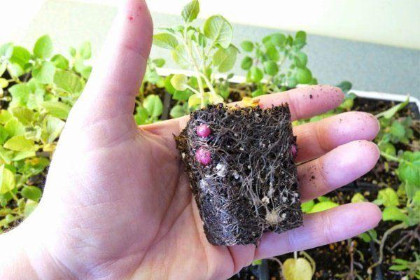 Выращивание клубней из семян