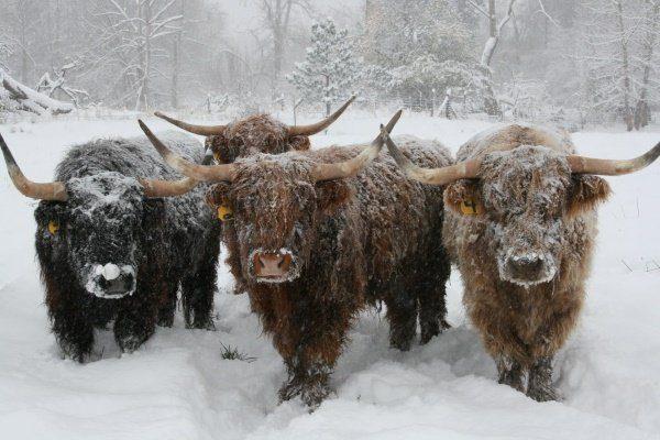 "Порода ""Хайленд"" зимой"
