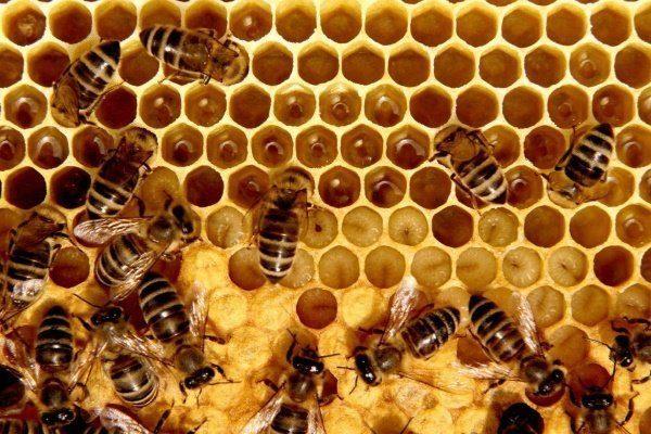 Пчёлы заготавливают мёд