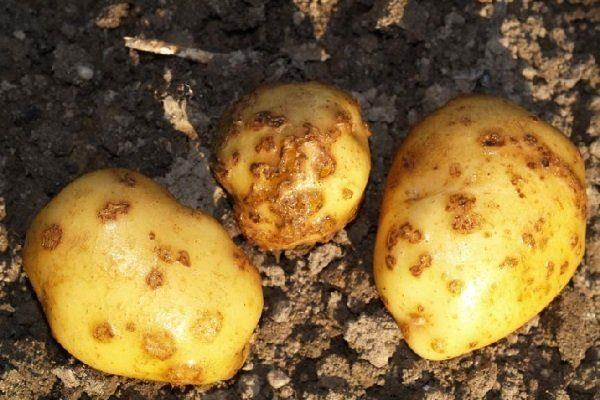 Рак у картофеля