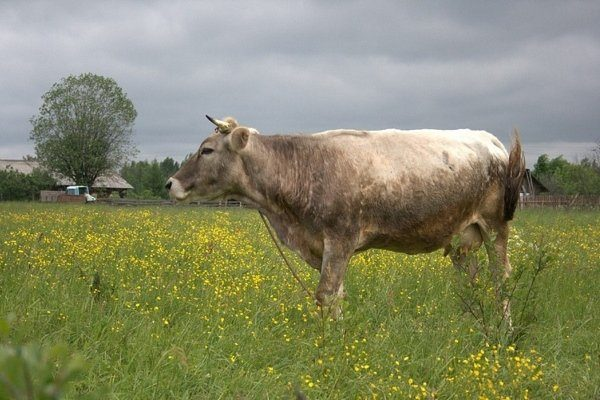 Костромская корова