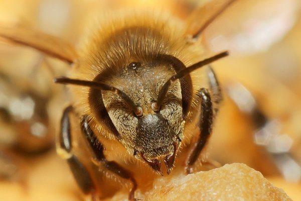 Африканская пчела-убийца