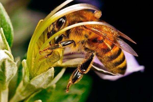 Северная пчела