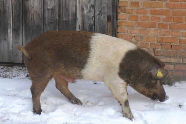 Красная белопоясая свинья