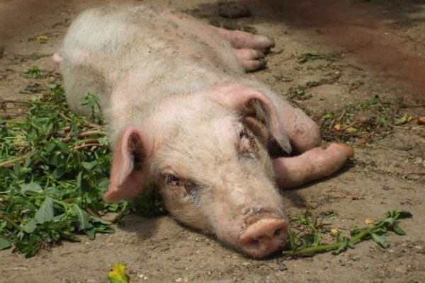 свинка отказывается от еды