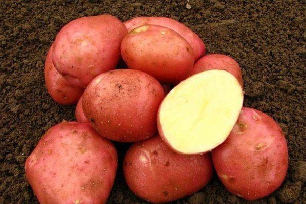 Картофель сорта Белларозу
