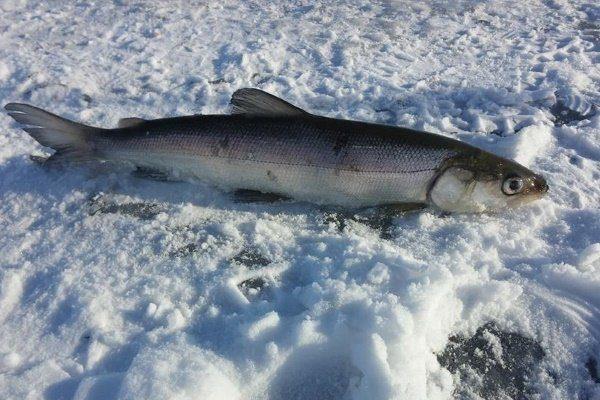 Рыба Нельма на снегу