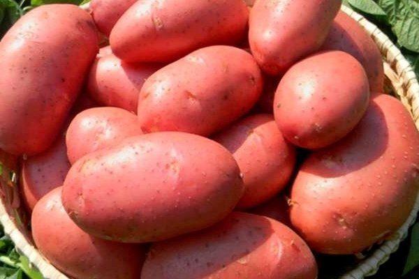 """Картофель """"Краса"""""""