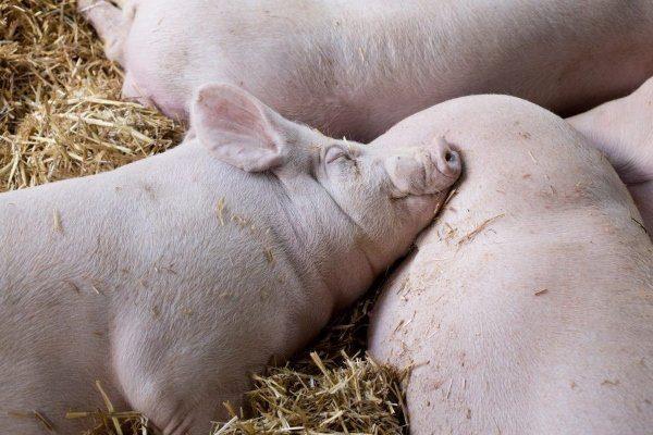 Содержание белых свиней