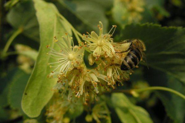 Медосбор пчел