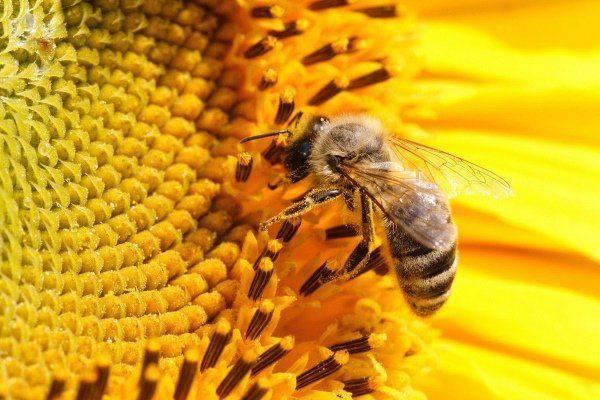 Краинская пчела собирает нектар