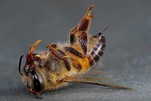 Химический токсикоз пчел