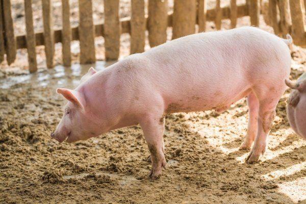Ландрас - порода свиней основные характеристики