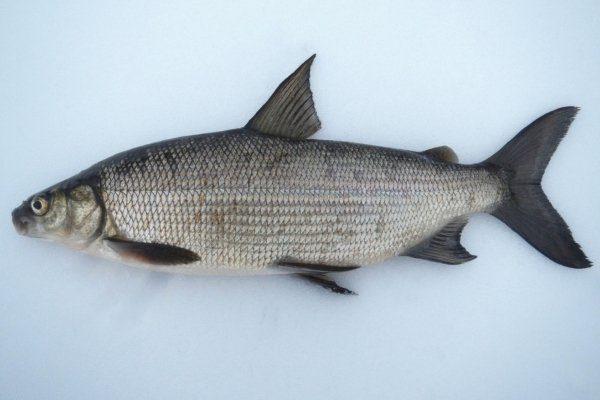 Рыба сиг для организма