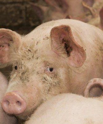 Цистицеркоз свиней
