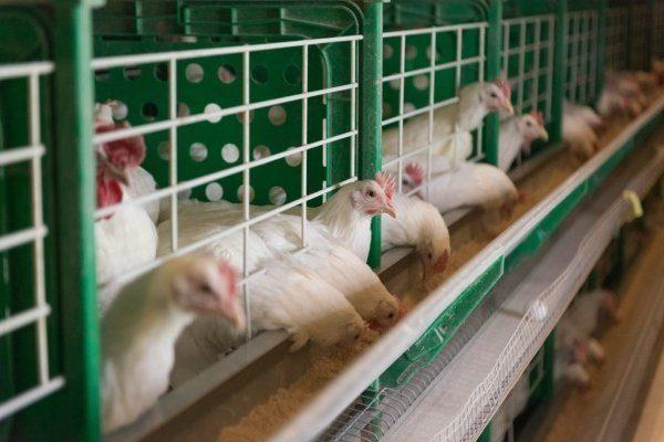 Клетки для кур как выглядят клетки перевозки для кур