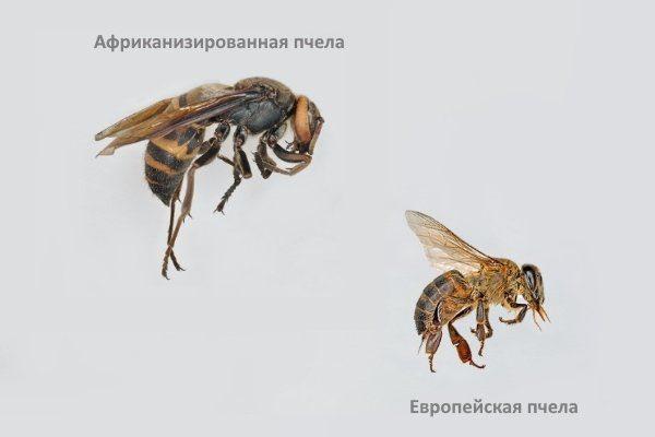 Африканизированная и обычная пчела