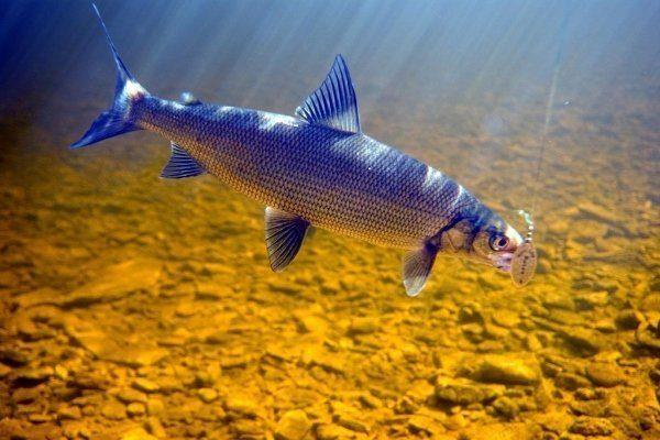 Рыбалка на сига