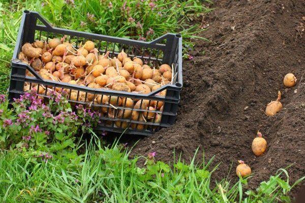 Посадка картофеля Метеор