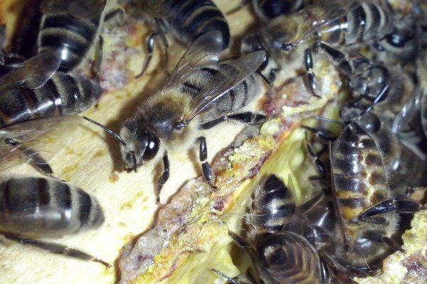 Содержание среднерусских пчел