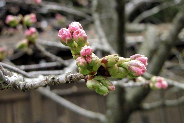 Период вегетации у плодовых деревьев