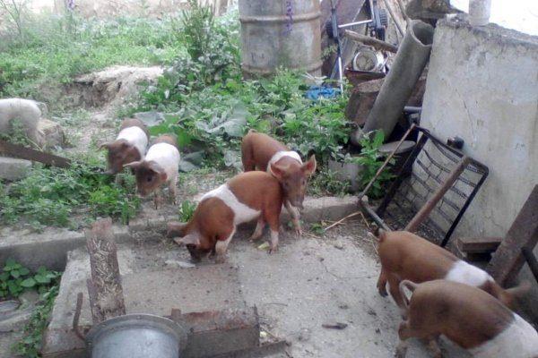 Содержание красной белопоясой свиньи