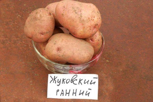 """Сорт картофеля """"Жуковский ранний"""""""