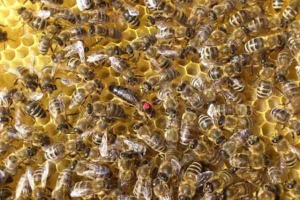 Вучковские пчёлы