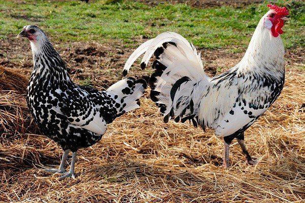 Гамбургские курицы