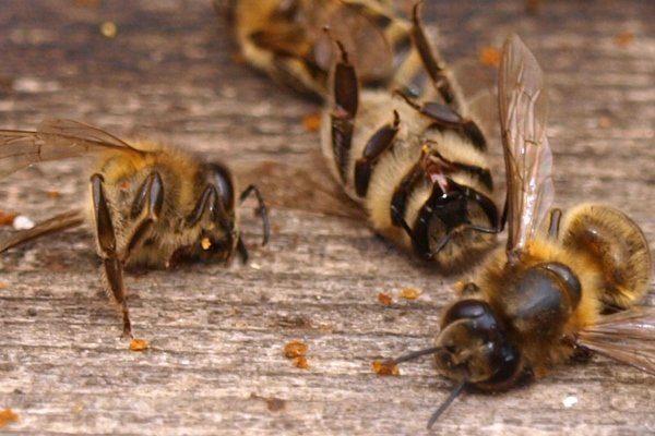 Мертвая пчела для исследования