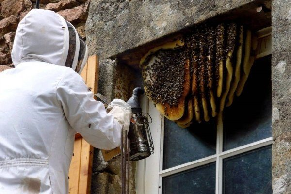 Переселение диких пчел