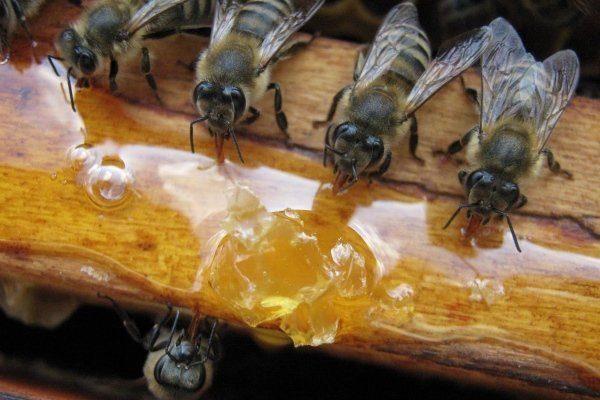 Подкормка серых кавказских пчел