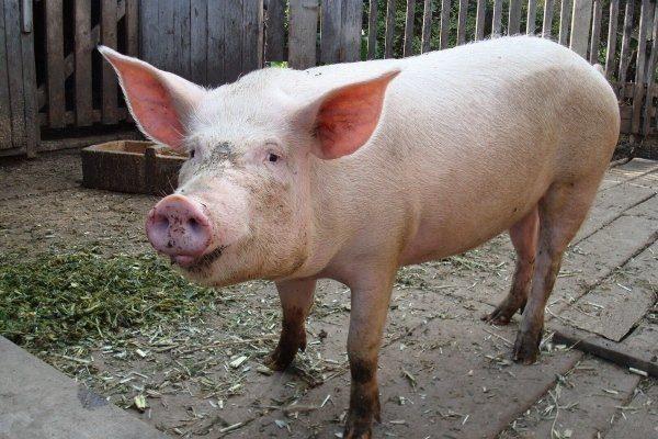 Белая свинья