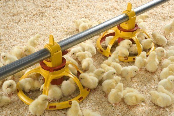 Кормление птенцов хайсекс