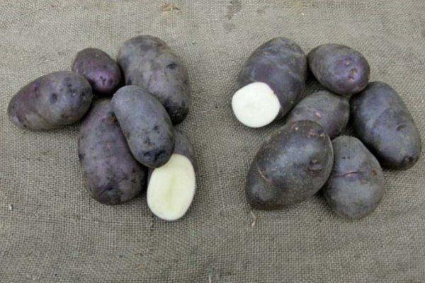 Сорт картофеля Чёрный принц