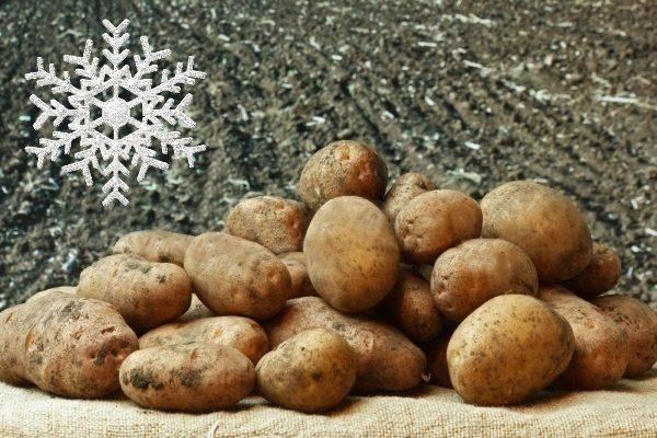 Лучшие сорта картофеля для Сибири с описанием